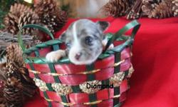 Diamond is an adorable female blue merle  chihuahua . She is a long coat. Mom and dad are both long coat chihuahuas. CKC registered with a written health guarantee. Born November 13, 2012 and will be ready to go mid January 2013. We are