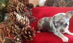 Diego is a Blue Merle Male($700.00) Born November 8, 2012. Up to date on shots and dewormed. CKC Registered with a written health guarantee. Mom is 3 pounds and dad is 2 1/2 pounds. These are going to be some tiny babies. Both parents have wonderful