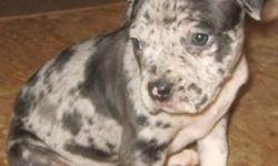 only 2 left blue merle and champagne merle female born 09-29-2012 shots and dewormed utd very loving and playful house and crate trained --