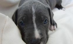 BREED: American Pit Bull Terrier PRICE: $300 each GENDER: 4 males / 2 females DATE OF BIRTH: 07/03/2011 LOCATION: Los Angeles, California PAYMENT: Cash only If you are ready to commit to love adorable pit bull puppies, we have full blooded blue nose pups