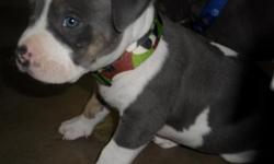 5 tri color american pitbull terrier puppies left. dam on sight ( tri color ).---Females are starting at 700 and males are starting at 800. These prices include UKC registry. Prices are negotiable especially if you do not need the ukc papers or if you