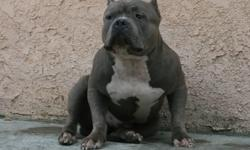 6 week old female puppy for sale. For more information please go to my website at www.bigapplepitbulls.com