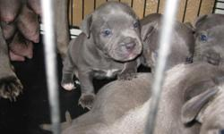 We have 5 pure bred bully blue pups for sale. Four females and one male.They have big bulky heads, beautiful coloring and very good temperment, father weighs 85 lbs and mother weighs 65lbs.These pups will go fast!!! They are all solid blue/w a lil white