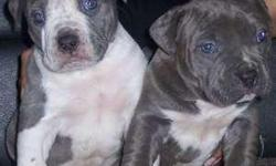BEAUTIFUL BLUE NOSE PUPPIES 6 TOTAL!! 3 BLUE AND WHITE 3 BLCK AND WHITES HEALTHY WORMED AND FIRST SHOTS GIVEN PRICE NEGOTIABLE TO GOOD HOMES ONLY AND NOT FOR FIGHTING THESE ARE GOOD NATURED LOVING PARENTS NOT AGGRESSIVE DOGS VERY STALKY PLAYFUL PUPS LOYAL