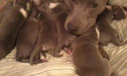 i have 6 blue nose pitbull puppies for sale 4 girls and 2 boys im asking for $400 for the girls and $300 for the boys they  are full bloodied and were born nov 27, 2012. they will  not be ready till jan 18, 2012. i want them to go to a good