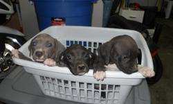 Blue Nose Pitbull Puppies seeking a loving home. 3 black girls, 1 gray girl, 1 black boy. DOB 5/9. Both parents on site- dad(black and white), mom(fawn). All dogs are extremely playful and loving, great with children and families. Serious buyers only