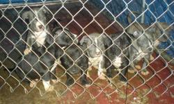blue nose pitbull pups 4 males 3 females born 10/31/10 ready to go nice looking dogs 561-478-6497
