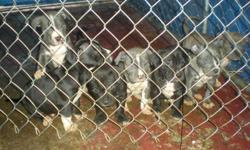 Blue nose pits good looking dogs born 10/30/2010 Ready to go next week Dec 20th