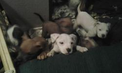 Blue Pit Puppies for sale in medford 3 males $250 ea. and 2 females $300 ea. 6 wks old and ready for good homes. Call --