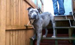 Blue female pitbull for sale - call: 410-736-3563