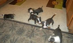 Seven beautiful blue pitbulls puppies that were born 6/27/11, 4 girls and 3 boys with papers and shots. I have two all gray/blue females and the rest all have very nice markings. The Sire(SpaceGhost) is a Champion bloodline from Pitfalls Kennels. The