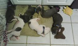 I have 6 blue pitbull puppies for sale. 4 blue/white (3 males, 1 female) and 2 white/blue (1 male, 1 female). They were born on June 1, 2011 and will be ready for a new home on Wednesday, July 13th. Both parents are on site and are both Blue/White. Dad is