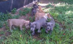 7 Blue/Fawn/Purple Pitbull puppies for sale. 2 sets of shots (@6 & 8wks) and 3 rounds of dewormer (@ 4, 6, 8wks) given. 9 wks old (born June 19th), crate trained and ready for their forever homes. All friendly and socialized with other dogs, animals, &