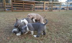 1 male & 2 female. Gottiline & Razors edge. Dewormed & first round of puppy shots included. U.K.C. registry. Serious inquiries only. -