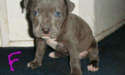 1 BOY 8 GIRL 1 BRINDEL 3 BLUE AND WHITE 5 MOSTLY BLUE 7 WEEKS OLD MUST GO ASAP... CALL OR TEXT (626)833-2405