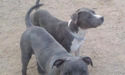 Prepared for qucik sale. These puppies will be 8 weeks old on 9/12/2011 and were born on July 18, 2011. Both parents are Purple Ribbon bred and UKC registered. I have 2 females remaining along with their UKC registration papers.The pups have been dewormed