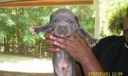 BLUE PITBULLS PUPPIES... Born: July 2nd... Papers: A.D.B.A-American Dog Breeders Association, inc... Puppies: 1 Males And 3 Females... Males: $250 - Females $300... Blood line: Gotti.... Their 4 weeks and 3 days Old... 1st pic - Boy... 2nd - 4th pic -