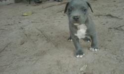 I have four more blue pit puppies for sale ADBA registered,dewormed and first and second shots . Sorry all the boys are gone. I have a total of four girls left. A must see!!! I will deliver within 50-100 miles for a small fee.