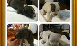 ****UPDATED**** ADBA registered. 2 females LEFT . White with some blue . Born June 22nd and ready to go. They have been given their first shots. Please text or call Paul @ --. $300 . Price negotiable..