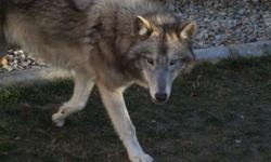 she is a blue colored wolf hybrid, will be two in April, she is not spayed, very sweet, gentle little girl. if interested email me at hillent@cox.net