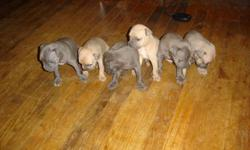i have 3 solid blue females and 3 fawn and grey males...mom and dad on site and is fully registered...