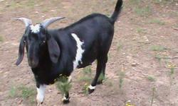 They are both; Black, Brown and White. I would like to trade them for Boer Does. Quantity Depends on size. These pictures were taken a while back, the Buck's horns are MUCH larger. I can e-mail you updated pictures. -Email Contact Information