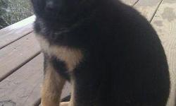 Reg. German Shepherd puppy pick of the litter.Maleblk/red very distinct markings ,will be a big boy 100lbs. plus.Family raised and extremely kid freindly,from great bloodlines and intellagent.All shots and wormed are up to date and ready for your