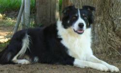 Domino Romeo Ansolabehere 4 yr old Male from the Ansolabehere Livestock Ranch in California. Lineage : from the Pyrenees Mountains in France for over 80 years of working dogs. Sire and Dam both on 1,550.00 head of sheep right now in the mountains of
