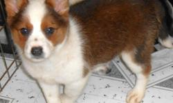 """*^*OPEN 7 DAYS*^*Holiday Hours...Please Call: """"Susan"""" -- or"""" --. Visitors Welcome: Hug-A-Pup """"THE PUPPY SPECIALIST"""" 4950 W. Irving Park Rd. Chicago,Il. 60641. **PLENTY OF PARKING** ( JUST OFF 90/94) Gorgeous Border Collie/Aust. Heeler. Med-Size"""