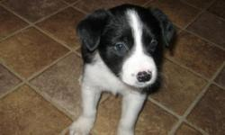 I have two male border collie puppies. They were born on April 5th and are ready to go. They have been dewormed and have first round of shots. These dogs have a lot energy, are loving, and can be taught easily. Please call 904-309-3625 thank you.
