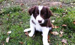 Border Collie Puppies, available December 12. They have all had their first shots and our awaiting their new homes. We have three left a dark red and white male $200, a light red and white male $200, and a gorgeous blue merle female $400. We will gladly