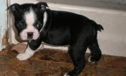 2 female boston terrier puppies. Mom registered , Dad not registered but pure bred. 7 weeks old. Ready to go. wormed. Had their first shots.
