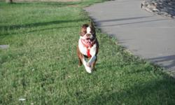 Small Seal Colored AKC Boston Terrior 4 years old never been bred is looking for a good looking male AKC Boston Terrior to have puppies with. Serious inquiries only 602-570-9421.