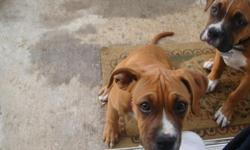 I have two Boxer-Mix puppies (male and female) that I need to find a home for. They are very sweet and loving, and their coloring is beautiful! Our landlord will not allow them at our home, so we are forced to give them up. They are good with kids, and