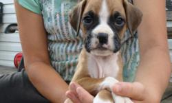 AKC Boxer puppies, ready for forever homes. 3 flashy fawn females still available. Very snuggly and playful. The puppies were born and raised in our home and are played with every day. Parents are our pets. 1st shots and deworming. Very social babies. 60