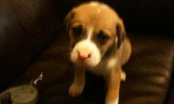 a 6 week old boy boxer/lab mix. very cute.