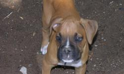 Attention all Boxer Owners: I organize boxer play dates in all areas of the Las Vegas Valley. If you want to be apart of our boxer club/meet up text or email us at rottygirl75@yahoo.com or 702-265-2138 or email ASandNuts2@aol.com Boxer Hugs!