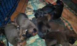 Boxer mix puppies ready on december 31st with first shot n wormed 8 pups all together 3 males 5 females the colors are fawn n brindle