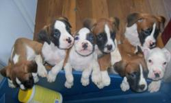 We have pure-bred boxer puppies that need a good home! We have EIGHT! Two female, six male. Seven are tri-colored. One is all white. They are 9 weeks old and ready to go home with you today! Their tails and claws have been clipped. Call 775-622-7994 or