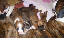 I have 7 boxer puppys- CKC registered, declawed, tails clipped, first shots. I own the mom and dad, so they are onsite! Puppies will be ready to leave mom in 2 weeks Come take a look! Very loyal dogs! 254-368-8635