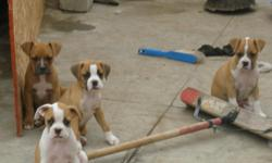 FULL BRED BOXER PUPPIES 6 WEEKS OLD. HAVE 2 MALE AND 2 FEMALE THERE TAIL ARE CUT OFF. THE DAD AND MOM ON SITE. LOCATED IN SAN DIEGO ,CA * CALL FOR MORE DETAILS*