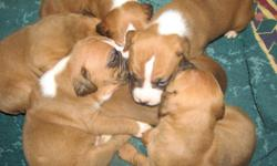 Pure breed boxer pups for sale. Born 16 Dec. 2010, fawn colored, registration papers, shot records, parents available, 5 females, 1 male. They will be ready to be picked up on Feb. 10, 2011 (8 weeks old). Just in time for Valentine's Day. Call