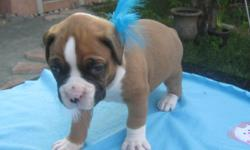 Hello all, We have some Gorgeous Boxer puppies born on Oct. 5th. Parents both pure breed and on site, great guard dogs with no emotional or health problems. All Puppies come with tails docked,de-wormed, first shots, vet checked and certificate to prove