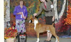 For Sale!!! Flashy Fawn litter from A.K.C. register pedigree of over 50% Champion Show Boxers. There are 1 male left out of a litter of 7. They are 14 weeks old and available to take home. Veterinarian examined. Call or Text for more information... Diane