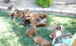 For Sale!!! Fawn litter from A.K.C. register pedigree of over 50% Champion Show Boxers. Superior confirmations. There are 6 males puppies and 1 female. 7 weeks old will be available to take home after 8 weeks. Call or Text for more information... Diane at