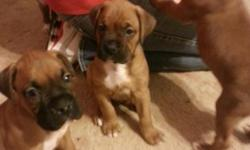 5 boxer puppies for sale. Born October 15th. Have 3 males that are solid fawn with white chest and white tips on toes. Have 2 females that are fawn with white markings on face and neck with white chest and white socks. Have all had first shots and been