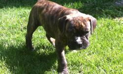 SOLD! Boxer puppy - brindle - male. He is the biggest of the litter! A very cool dog! Ready in 2 weeks - reserve today! Dew claws, shots and parents on site!