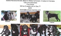 4 males, 2 females. Tails & Declaws, first shots. Ready 12/7/12. Black and White, Flashy. One all black face. Pure breed. Rossford, Ohio. --.