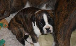 dark brindle and white she is a girl call 985-868-3456 for details