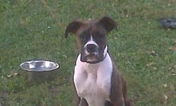 6 month old boxer puppy needs a great home! hes great with other animals and also with children!